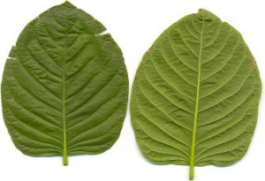 List Of Alkaloids Identified In Mitragyna Speciosa Kratom