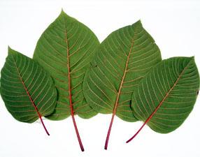 kratom-leafs 2