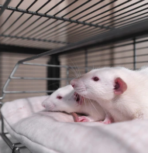 """Study: Pure mitragynine """"does not induce physiological dependence"""" in rats, treated morphine withdrawal more efficiently than buprenorphine"""